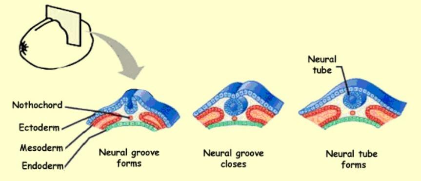 Desarrollo tubo neural en el neurodesarrollo NeuroClass