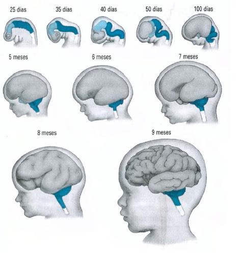 neurodesarrollo fetal o formación cerebral Neuroclass