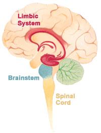Sistema límbico - NeuroClass- emociones