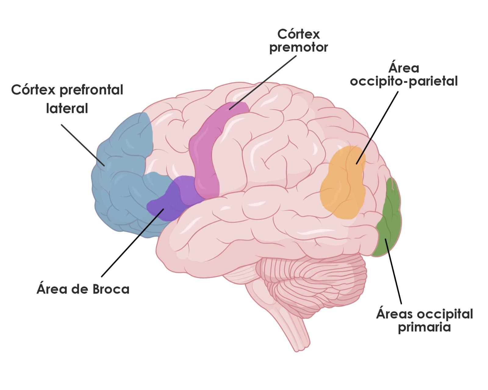 Bases neuropsicológicas de la Lectura - Estructuras - NeuroClass