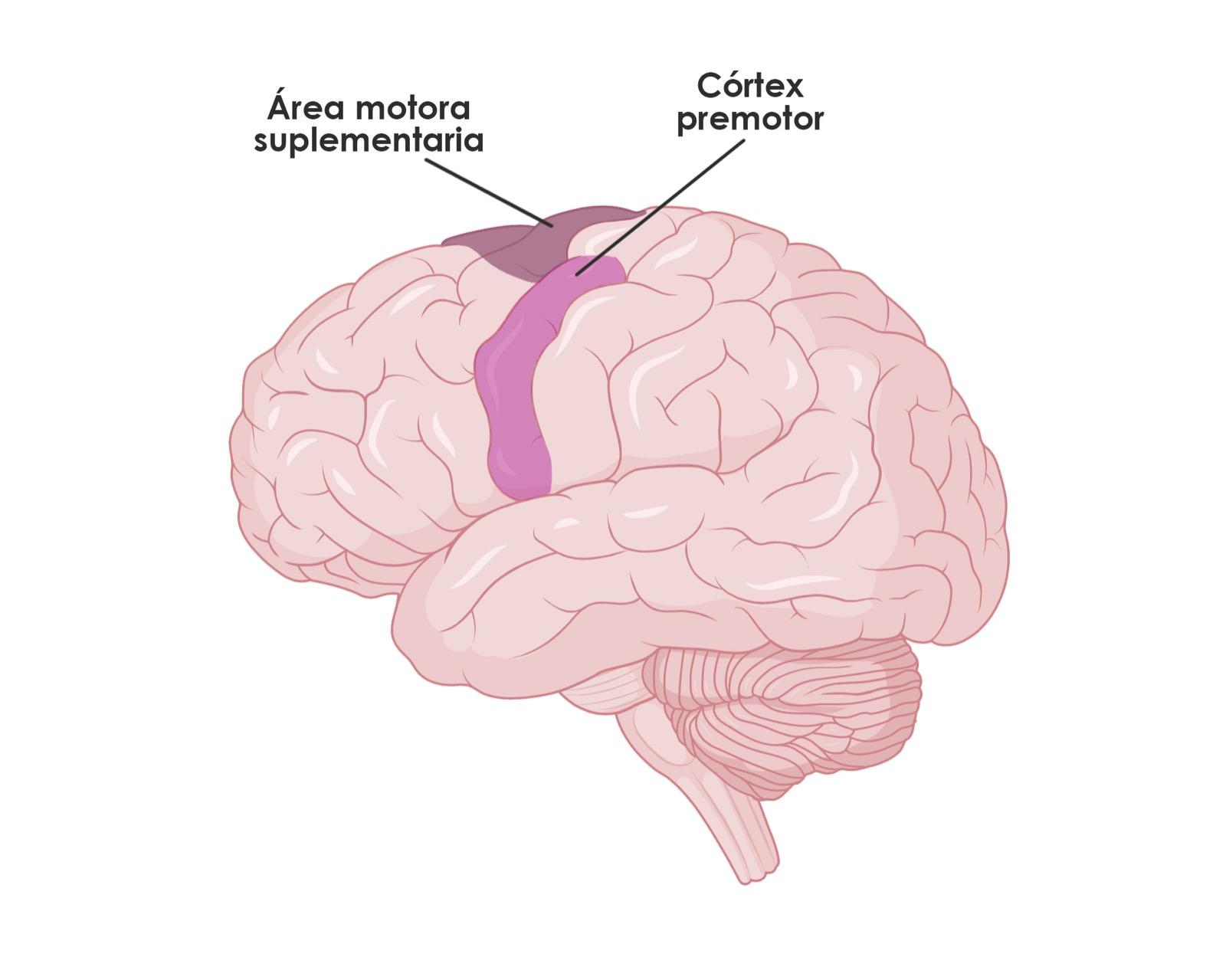 Bases neuropsicológicas de la danza - sistema motor - NeuroClass