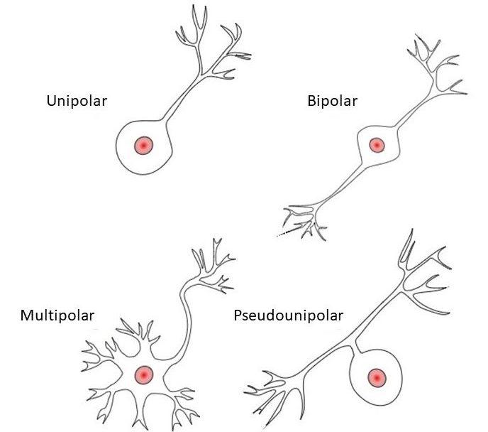 Tipos De Neuronas Funciones Y Curiosidades Neuroclass