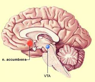 Nucleo-Accumbens-y-AVT-Sistema de recompensa cerebral-NeuroClass