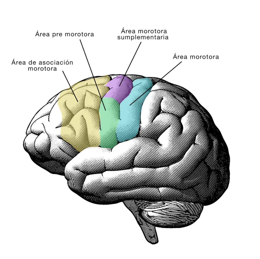 cerebro-praxias-coordinación-y-planificación-de-movimientos-Nueroclass
